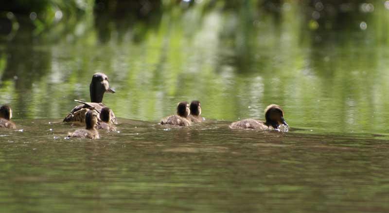 une canne et ses petits sur un lac